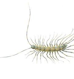 centipedes [ 1863 x 1383 Pixel ]