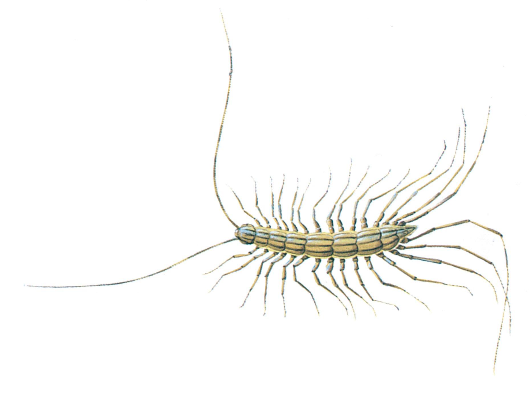 hight resolution of centipedes