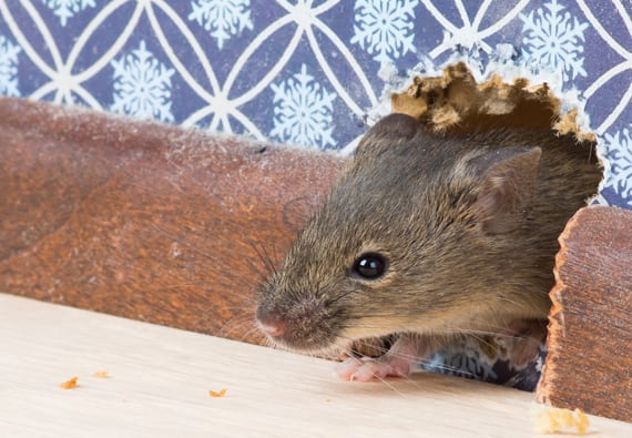 What You Need to Know About Rodent Infestations, Your Home and ...