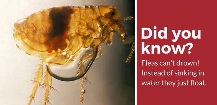 How Long Can Fleas Live Without a Host? [20 Big Questions ...