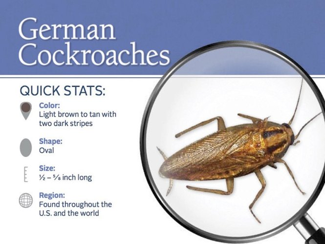 Using Magnifying Glass To Check German Roach Online
