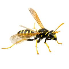 Hornet Anatomy Diagram 1997 Dodge Neon Starter Wiring Bees Vs Wasps Hornets Yellow Jackets What S The Difference