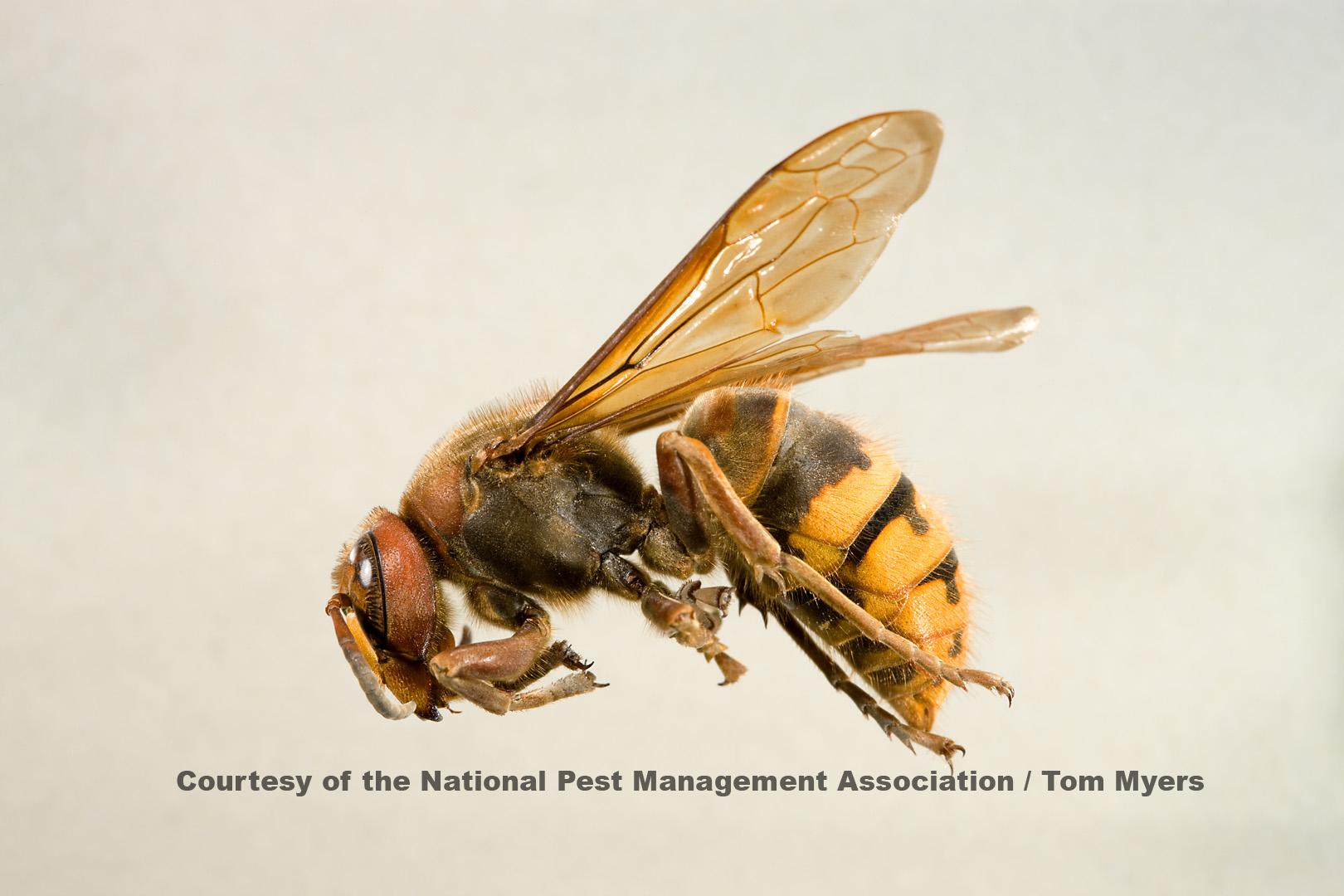 European hornet stinging insects also wasps and bees  guide to identifying pestworld rh