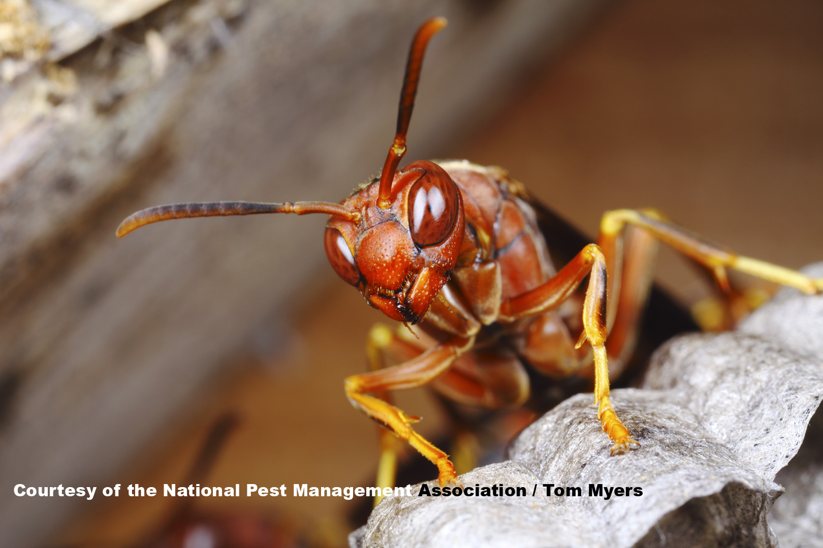 Paper wasp also wasps and bees  guide to identifying stinging insects pestworld rh
