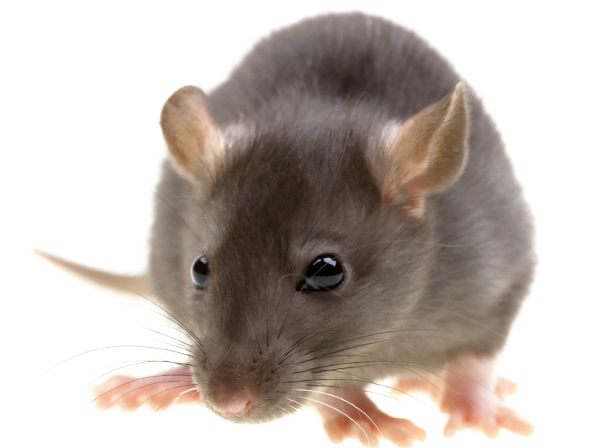 Roof Rats Information: Habits, Habitat & More on Roof Rats