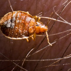 Can Dog Fleas Live In Sofas How To Make A Simple Lego Sofa Bed Bugs The Carpet Cfcpoland