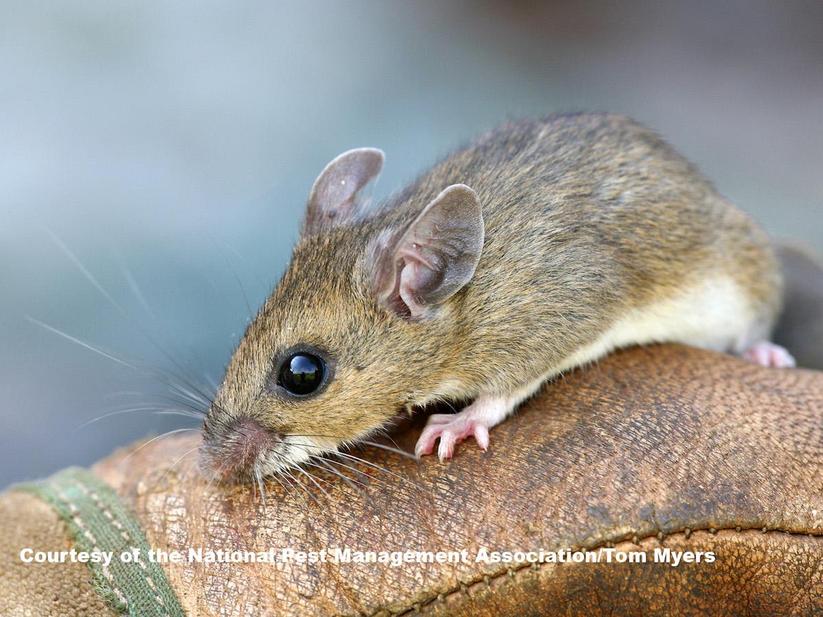 Deer Mice Prevention & Control: Deer Mouse Pest Profile