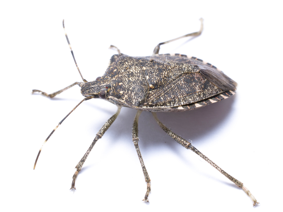 Stink Bug Control Info How to Get Rid of Stink Bug