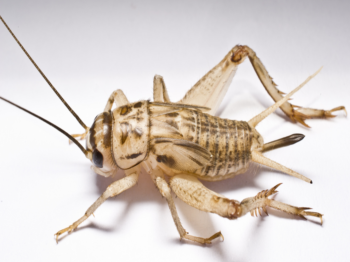 Crickets In House 9