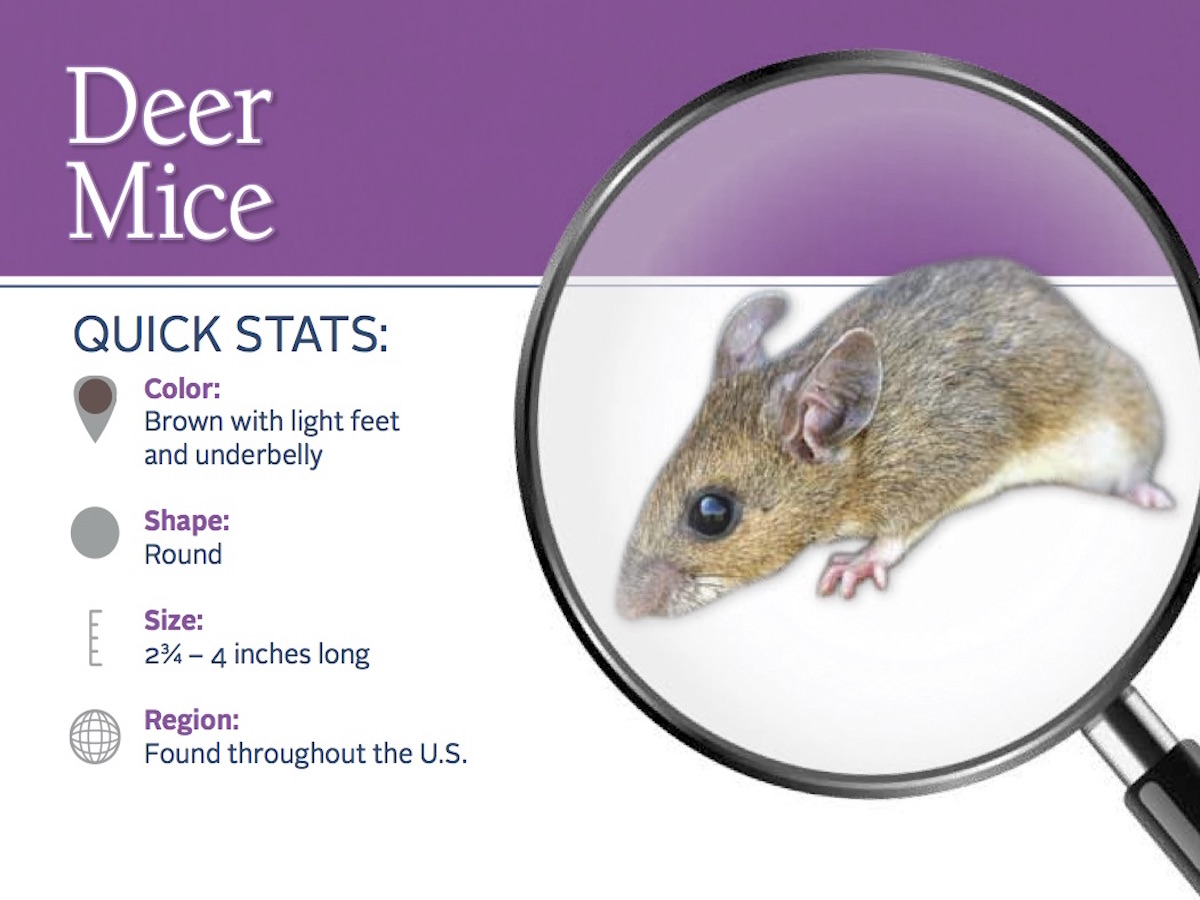 Deer Mice Prevention & Control: Deer Mouse Pest Profile