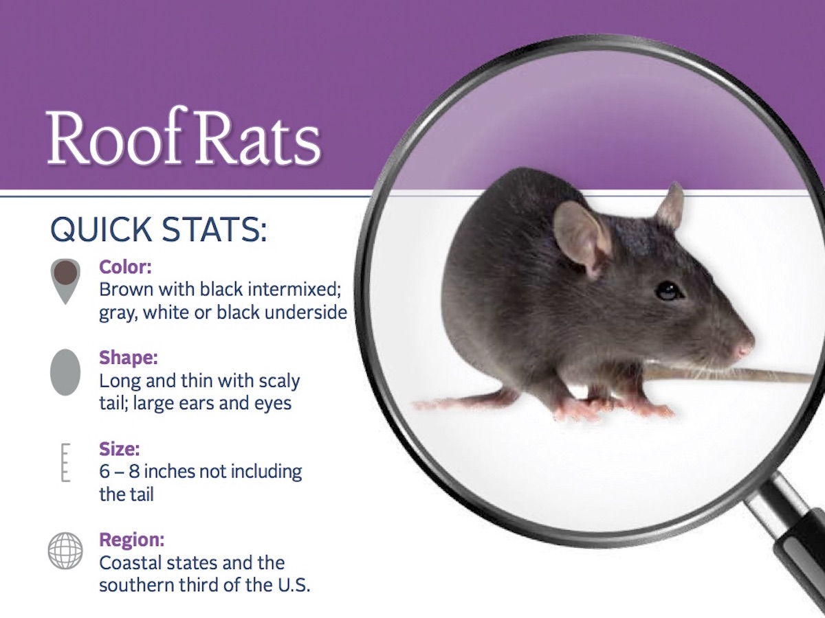 Roof Rats Information: Habits, Habitat & More on Roof Rats