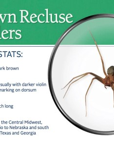 Brown recluse spider pest id card frontg also spiders control information bites  more rh pestworld