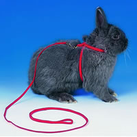 Rabbit in harness