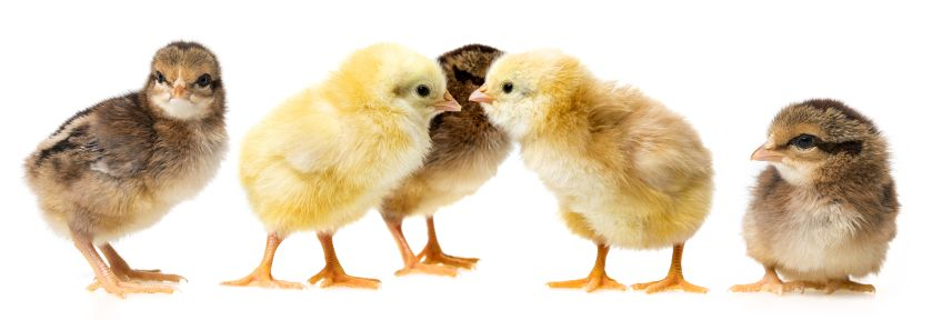 What do baby chickens eat?