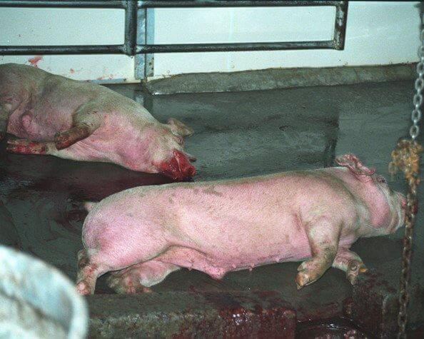 5383.two-pigs.jpg