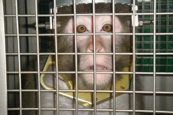 Frick Monkey In Lab
