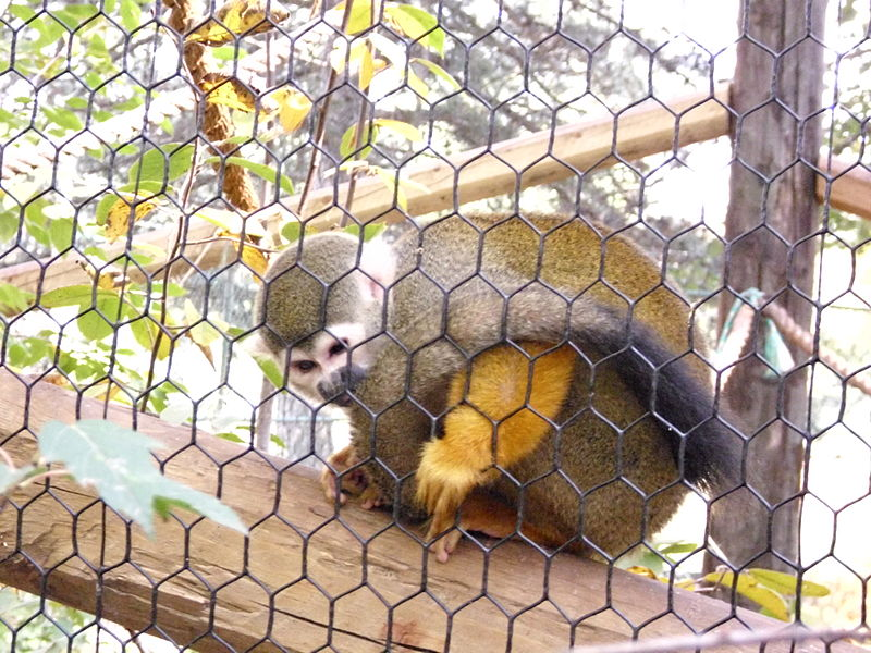 Squirrel-Monkey-Lincoln-Childrens-Zoo