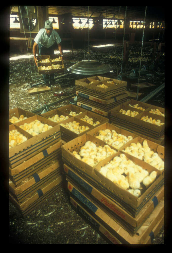 Egg Farm Chicks