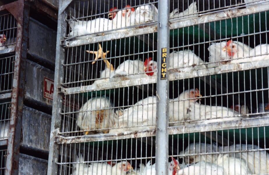 Broiler Range Free Chickens