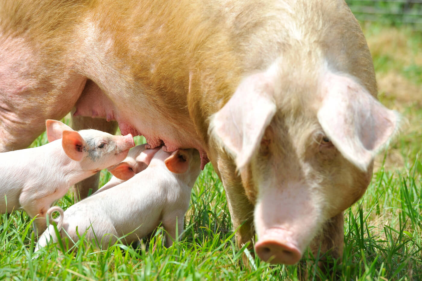 Piglets Rescued First Photos