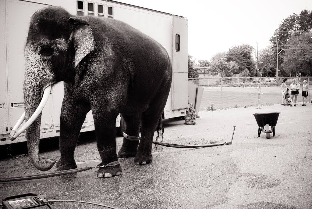 Black and White Circus Elephant, Canada