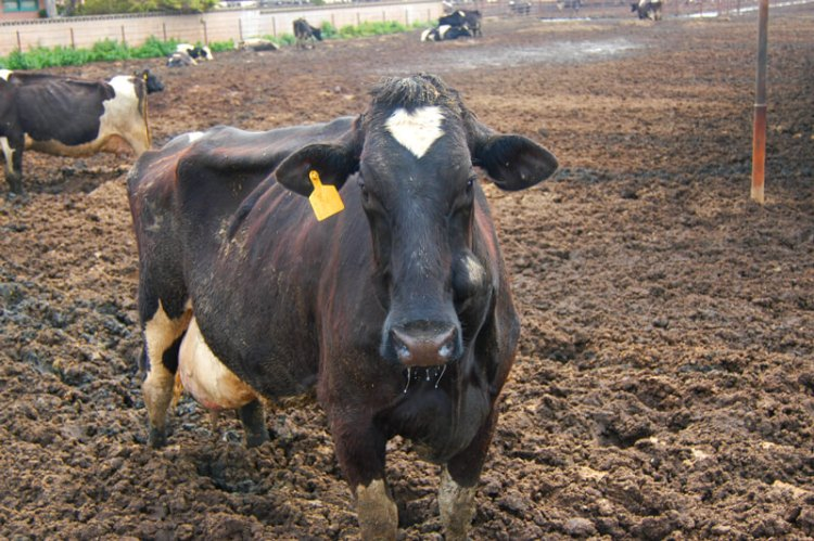 Cow on Filthy Factory Farm