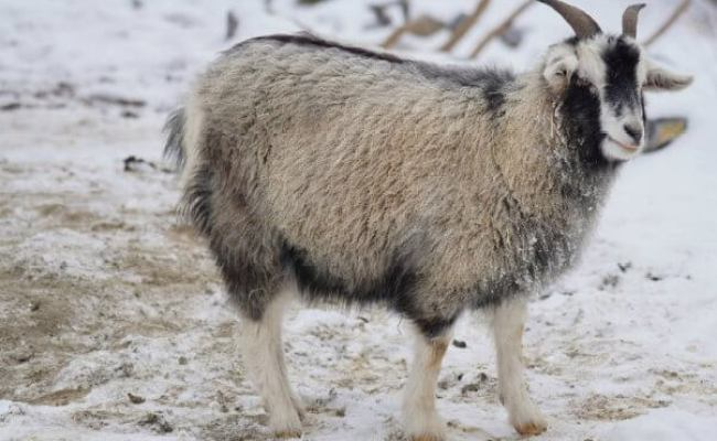 When You Learn Where Cashmere Comes From You Might Be Sick