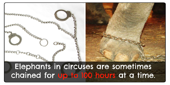 elephants chained in the circus