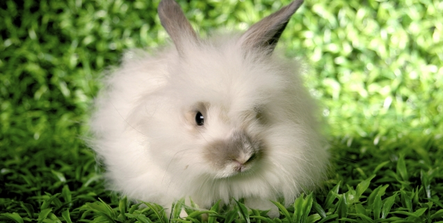 Angora-Rabbit-on-grass-637x320