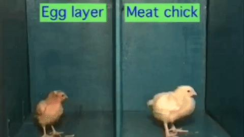 how chicken nuggets are