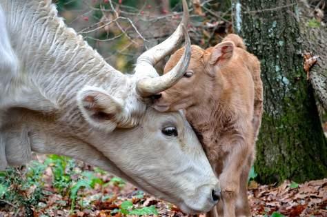 vache veau