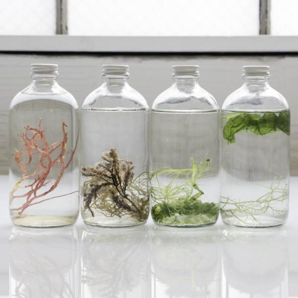 Sea Shore Cultured Algae Living Art Bottle