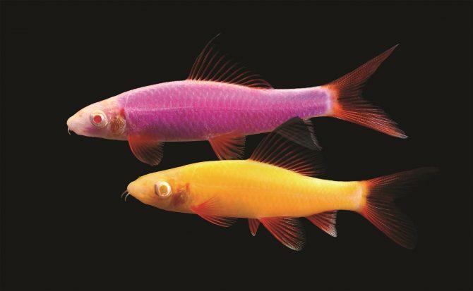 spectrum brands introduces glofish