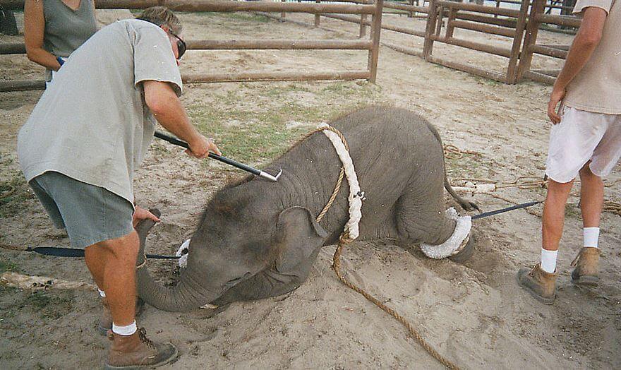 RBBB Baby elephant training