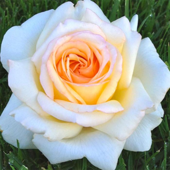 ANASTASIA Adamariat  Ptales de roses