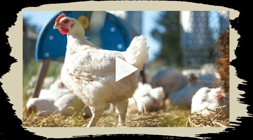 homepage petaluma poultry