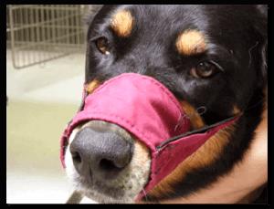 DogWearingClothMuzzleLM
