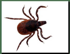 Deer Tick
