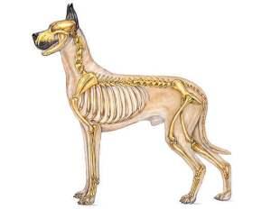 canineSkeletalSystemDiagram