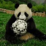 Panda per i pronostici di Brasile 2014