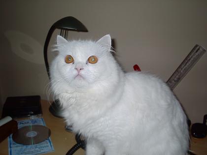 Ces  Cia Online  Galeria de fotos  gatos  Snowbell