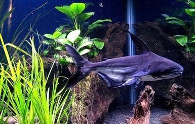 paroon aquarium shark