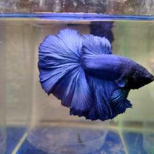 Royal Blue Over Half moon Betta Fish