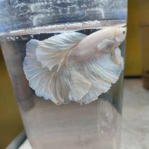 White Over Half moon Betta Fish