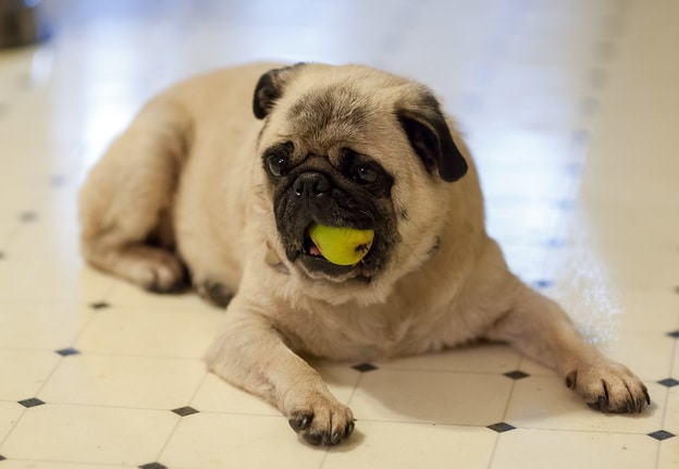 Read more about the article Can Dogs Eat Pears? Pears Good or Bad for Dogs