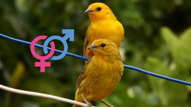 Male and Female Canary Lifespan