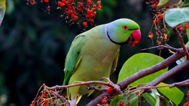 parrots lifespan