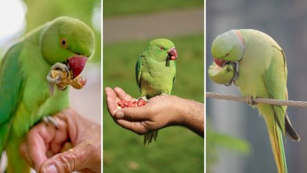 What Do Parakeets Eat? A Complete Guide of Parakeets Food