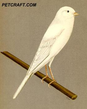 White Yorkshire Canary