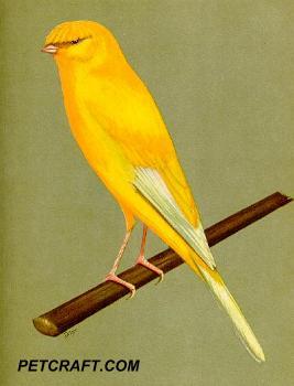 Lancashire Coppy Canary